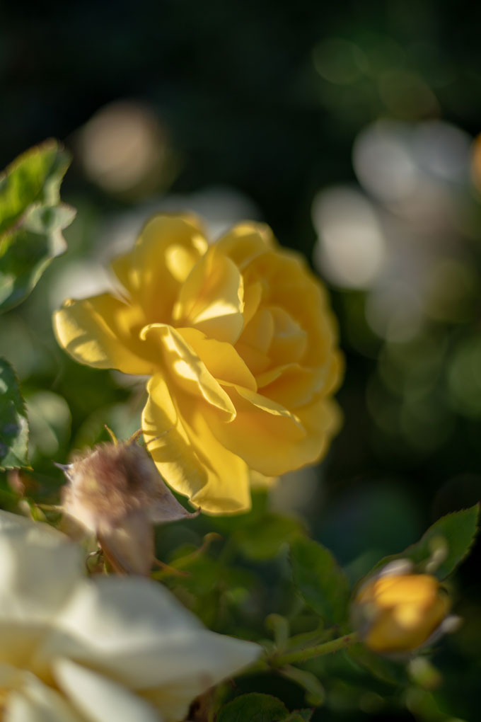 Rosaleda-retiro-rosa-amarilla