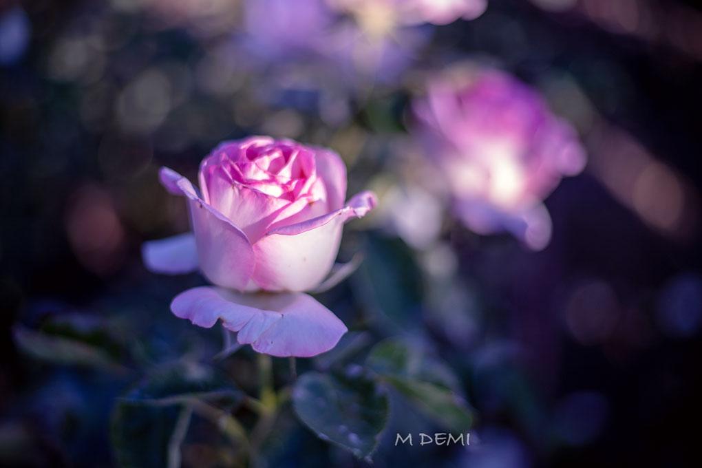 Rosa-retiro-rosa-desenfoque